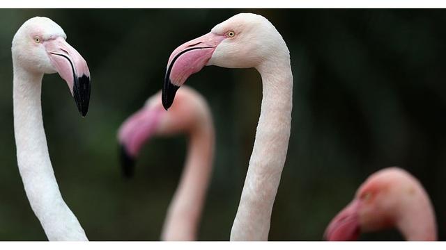 flamingo generic
