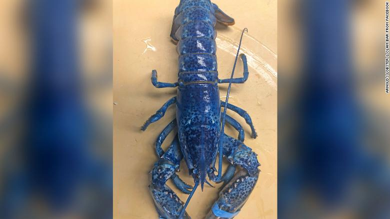 Blue Lobster_1560544429410.jpg.jpg
