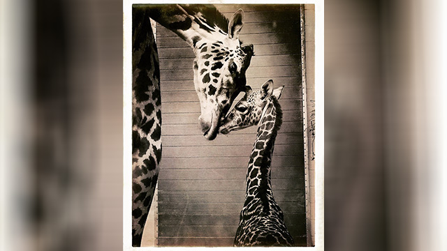 Giraffe_1560539877626.jpg