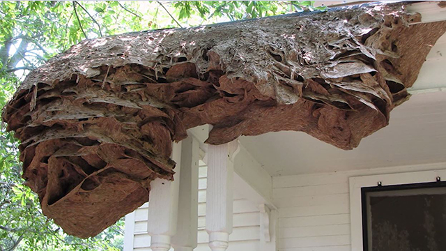 Yellow Jacket super nests