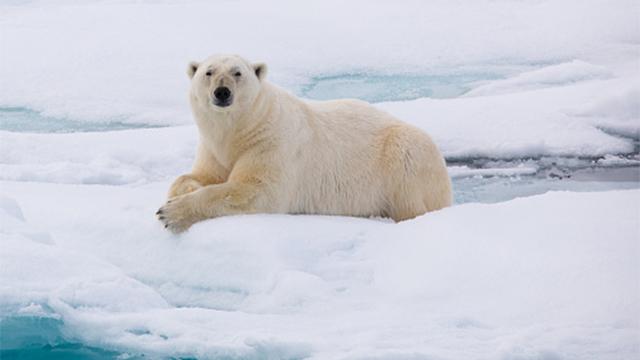 polar bear generic