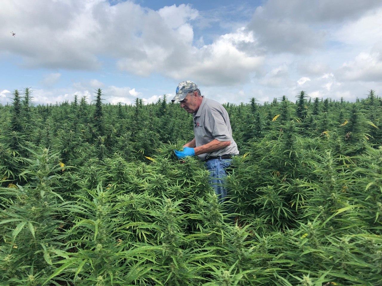 TDA inspector collects hemp samples