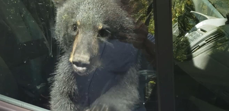Bear cub trapped in car