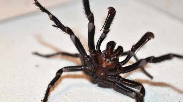 funnel-web spiders