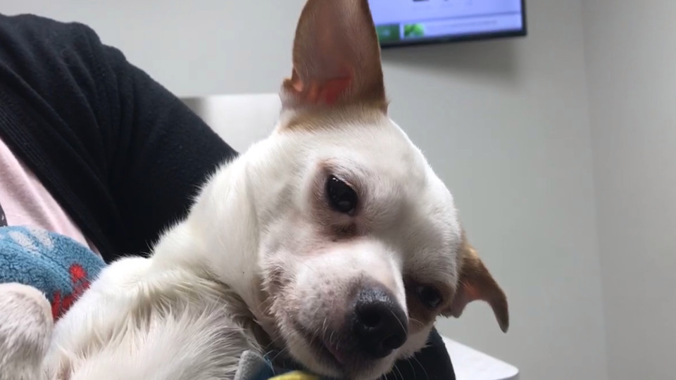 Chihuahua-thrown-from-car