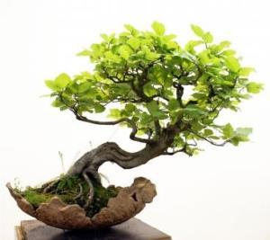 bonsai-miniature-trees