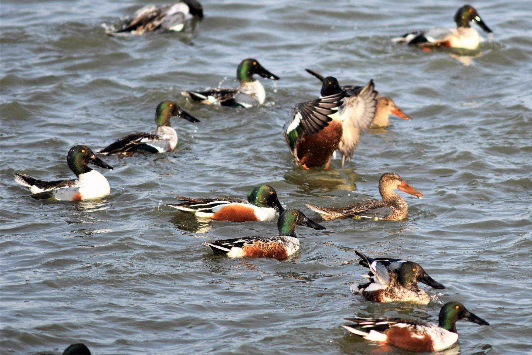 Birds_Shovelers_1552082847976.jpg