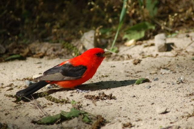 Scarlet tanager_1554750995811.jpg.jpg