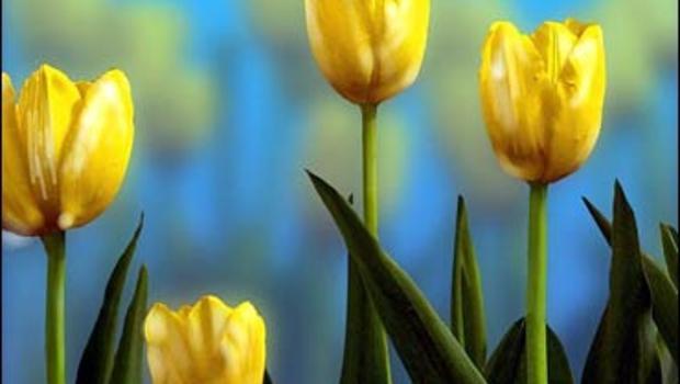 tulip_141271