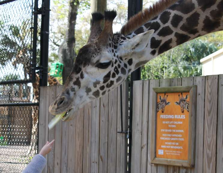Feeding a giraffe at the Central Florida Zoo. Photo: Matthew Peddie, WMFE