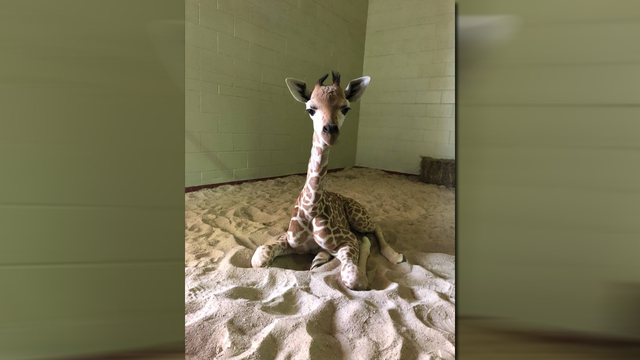 penny the giraffe_1533469191777.jpg.jpg