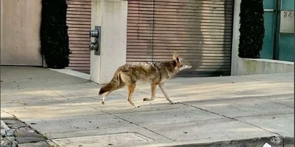 Coyotes Are Being Seen On The Empty Streets Of San