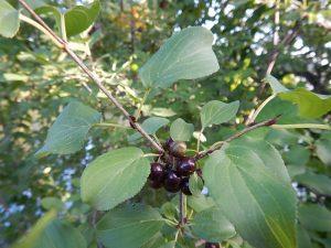 Common Buckthorn (Rhamnus cathartica) berries. photo credit: Andrea Locke, WNY PRISM