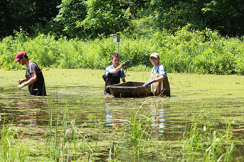 Recently Western New York PRISM (Partnership for Regional Invasive Species Management) staff helped Audubon Community Nature Center near its long-sought goal of removing all the invasive European Water Chestnut from its waters. PRISM staff are pictured here in waders pulling water chestnut from Audubon's Big Pond. Photo Credit: Jamestown Audubon
