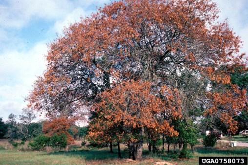Oak wilt infested trees. Photo Credit: William M. Ciesla, Forest Health Management International, Bugwood.org