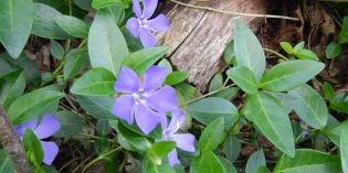 Common Periwinkle