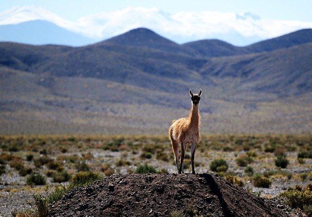 Südamerika - Alpacca in Chile