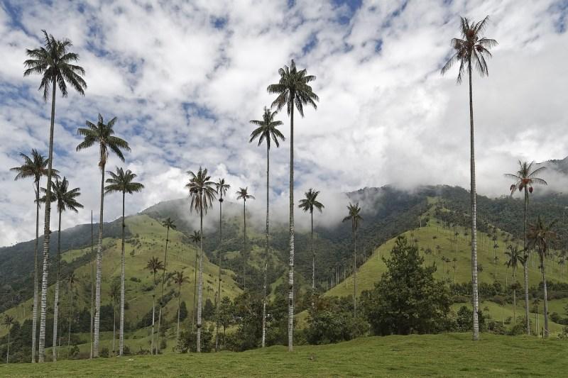 Kolumbien Wachspalme