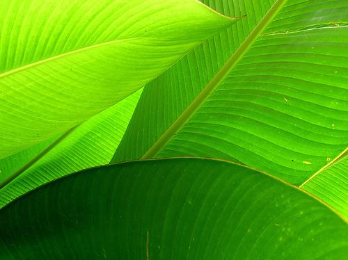 Feuille pleine de chlorophylle