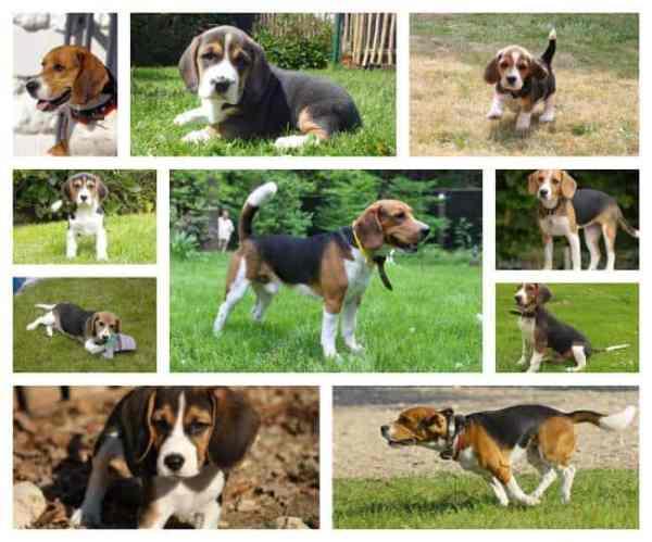 beagle pups brussel
