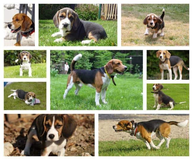 beagle elevage prix