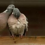 Tauben beim Frühjahrs-Putz