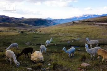 A few late afternoon Alpacas