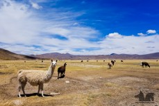 Alpacas on the Altiplano