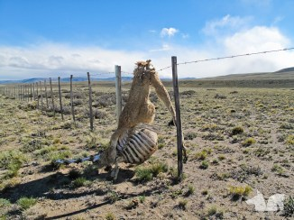 Not the happiest sight, the Ruta 40 is fenced off by kms of barbwire. The wild guanacos sometimes do not make the jump.