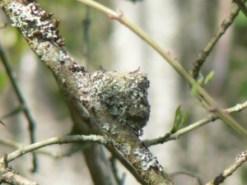 Hummingbird-Nest-Babies