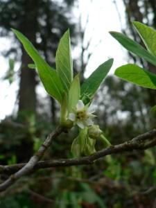shrub-indian-plum-starting-to-flower