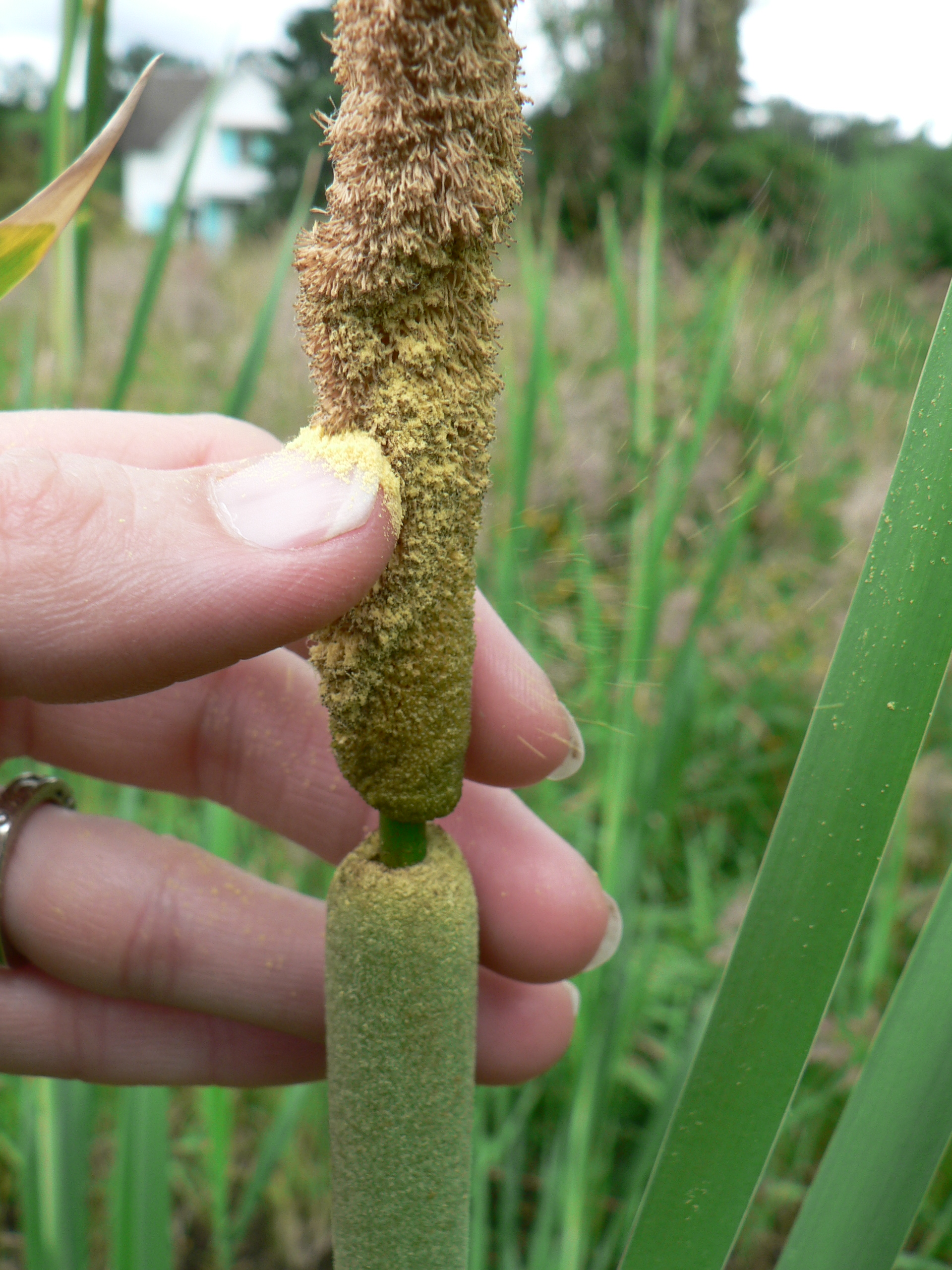 The pollen on top of the seed head from which cattail gets its name. Photo by Kim Chisholm.