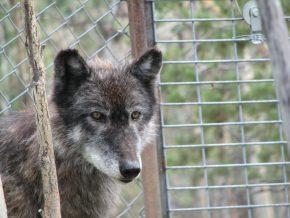 wolf-enclosure