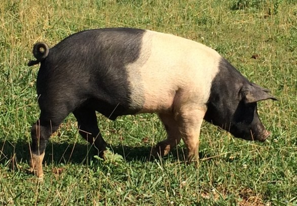 hampshire pig on pasture