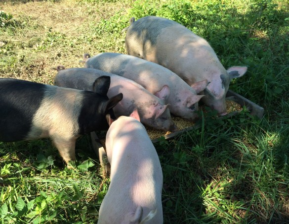 Pigs eating whole grain mix