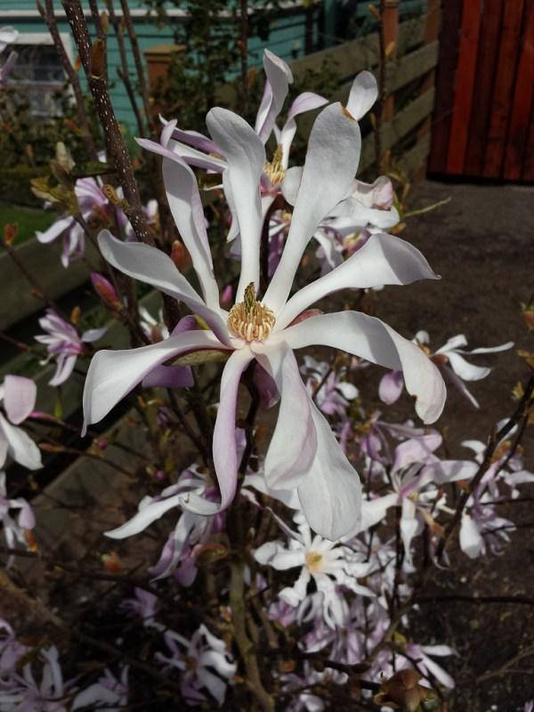 Starry Magnolia