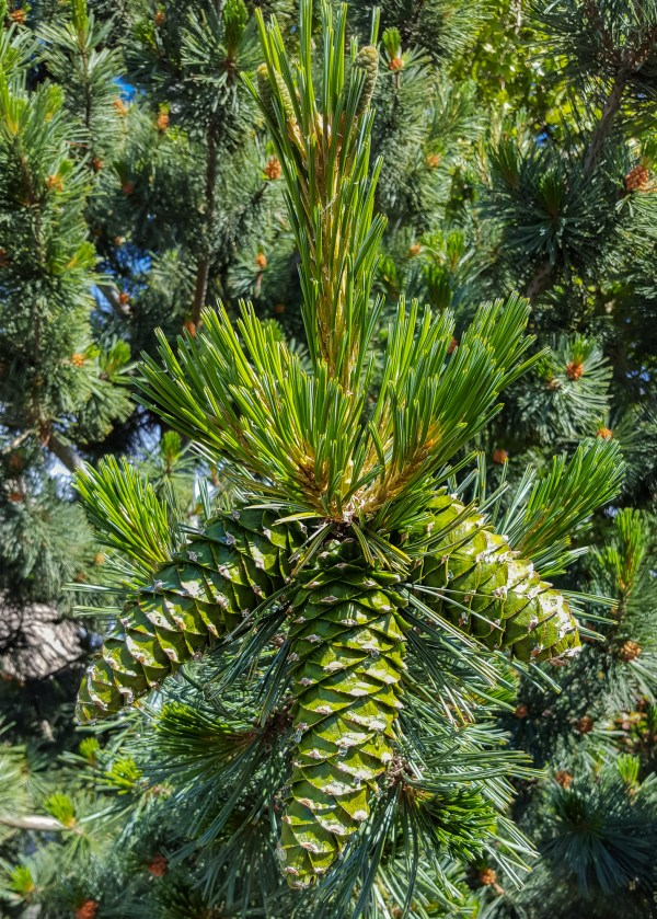 western white pine cones