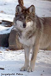 Image of a wolf: Ulie