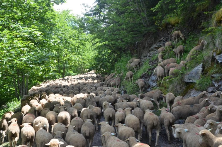 Merino d'Arles schapen