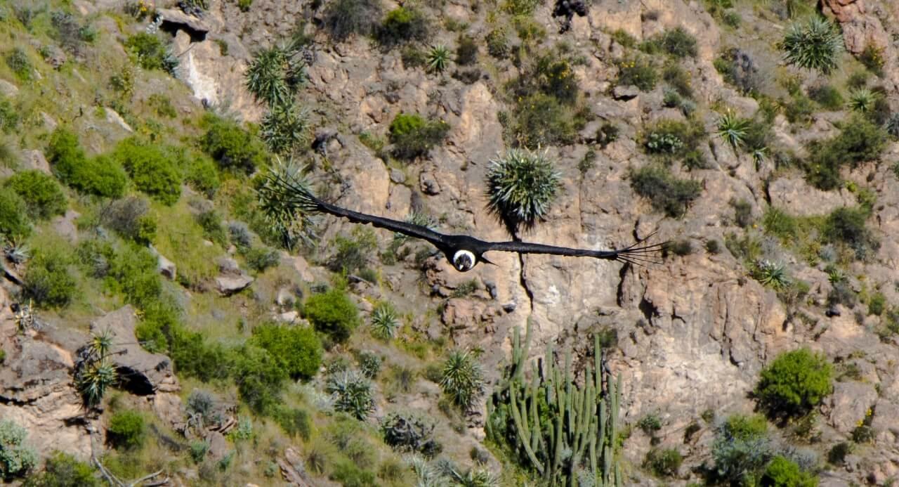 Canyon de Colca : vol de condor