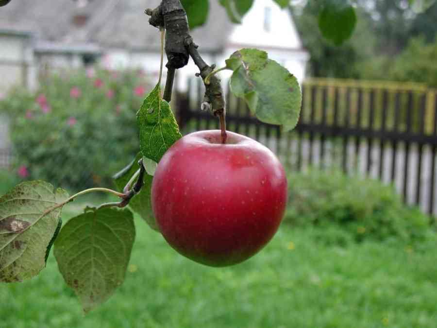 apple-649974_1280