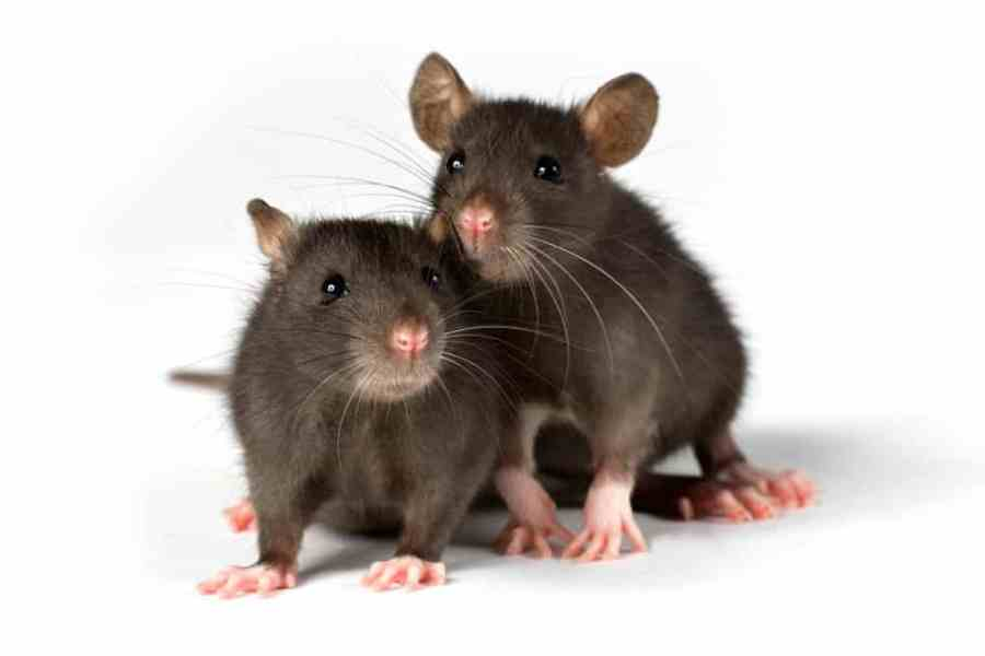 rodents-rats-mice