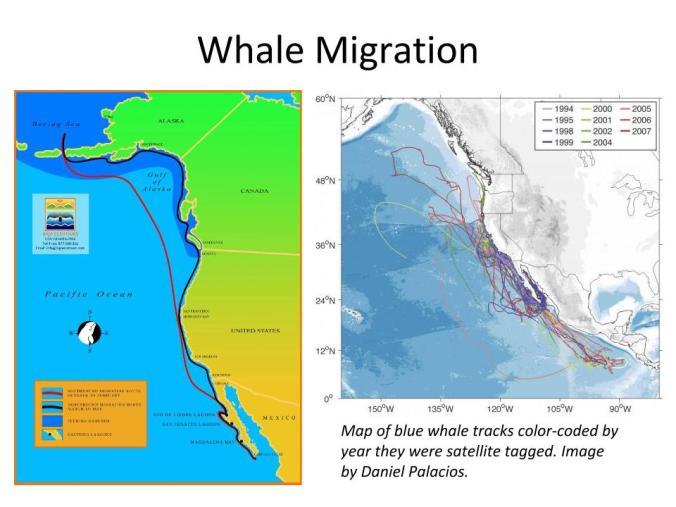 Baja Whales Presentation_Raven Adventures 2015.pptx (1)