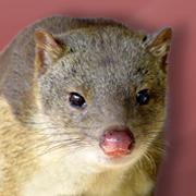Carnivorous Marsupials & Bandicoots