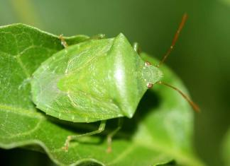 Common Garden Pests in Urban Farming, garden bugs pictures, good garden bugs, garden pests control, types of plant pests, bad garden bugs, vegetable garden pests, garden beetles, garden pests list,