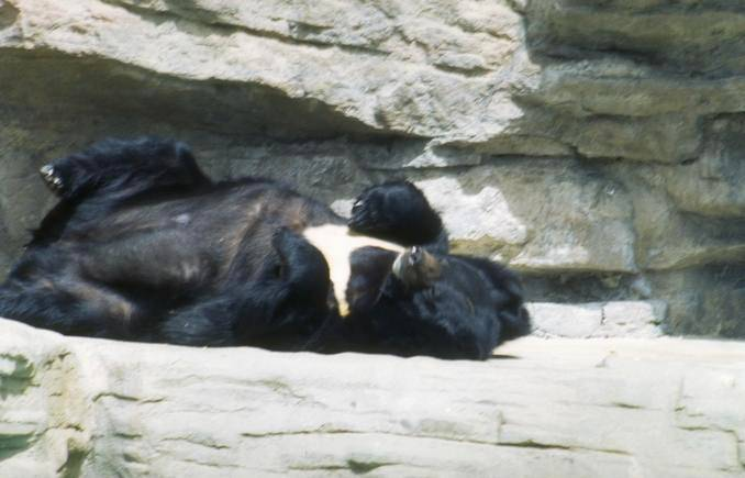 Bear Sleeping in a Zoo