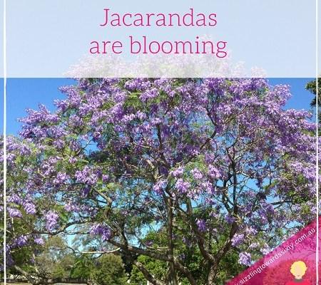 Jacarandas are bloomng