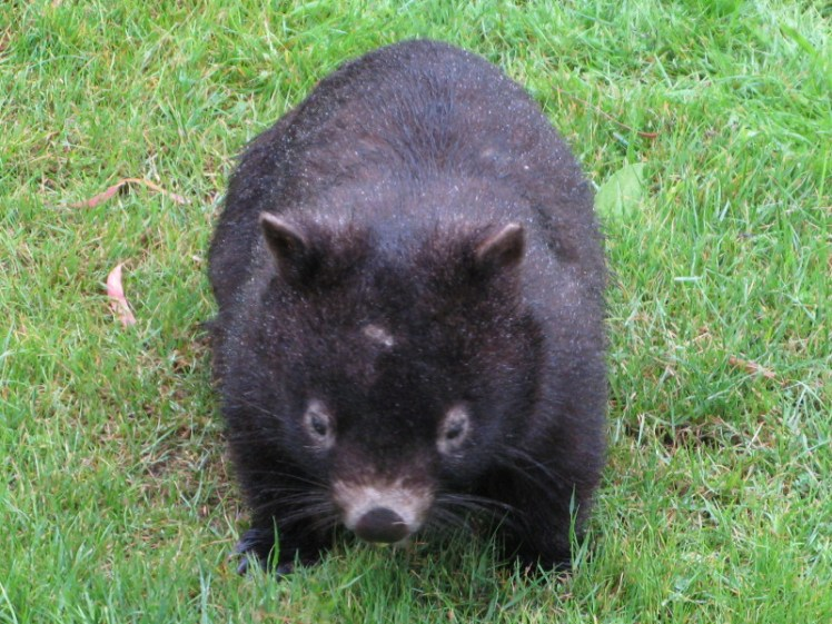 Steels Creek Estate's resident wombat!