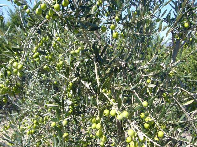 Olive trees grown on the property
