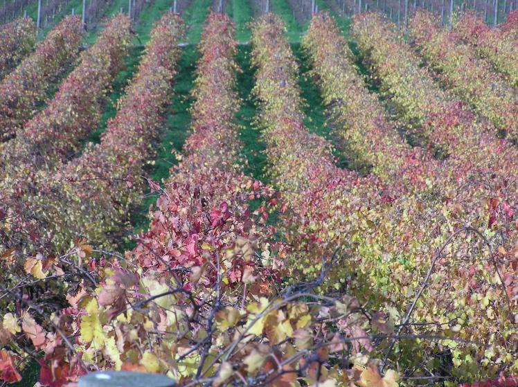 Autumn colours in the vineyard